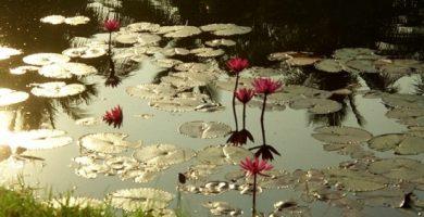 lotus sérénité-7504846454-137468