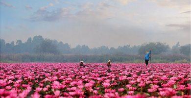 Pink-Lotus-Sea